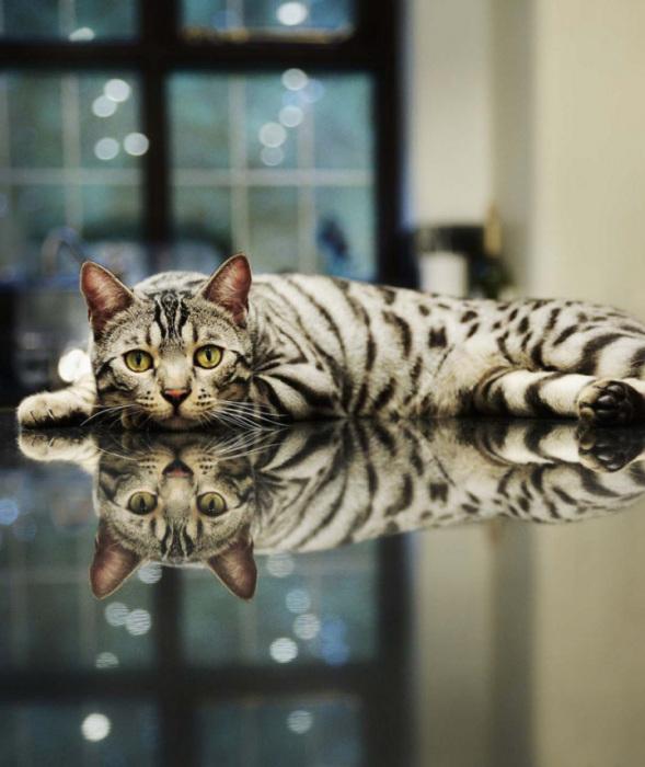 Шикарный кот на зеркальном столе.