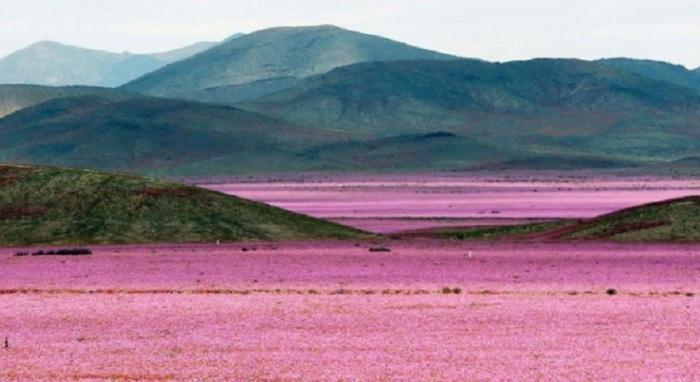 В сезон дождей самая сухая в мире пустыня в Чили расцвела буйным цветом.