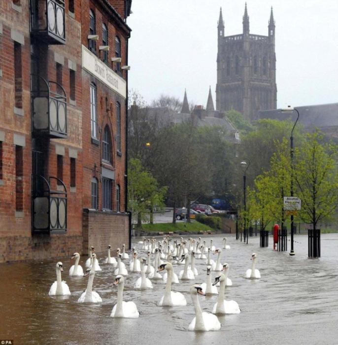 Лебеди, плавающие по лондонским улицам после наводнения.