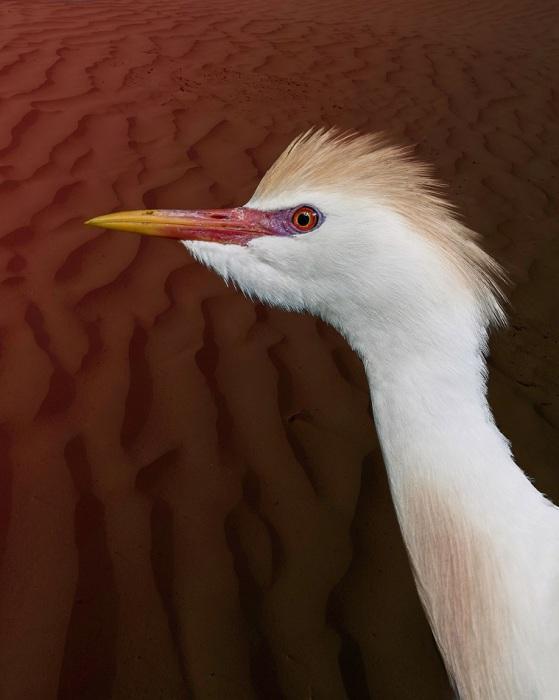 Птица средних размеров, имеющая в общем белую окраску, но верхние части головы, спины и зоба у нее винно-охристые.