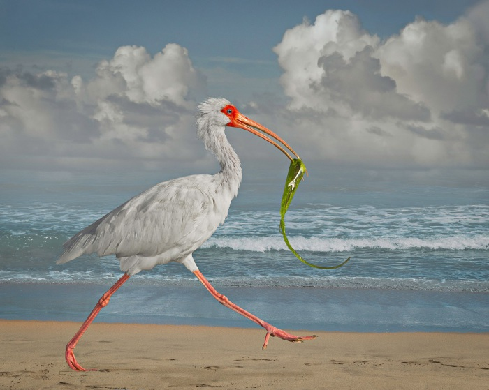 Белоснежная птица, обитающая  в Южной Америке.