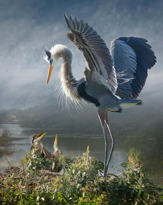 Редкая птица внушительных размеров, отличающаяся оригинальной голубоватой окраской.
