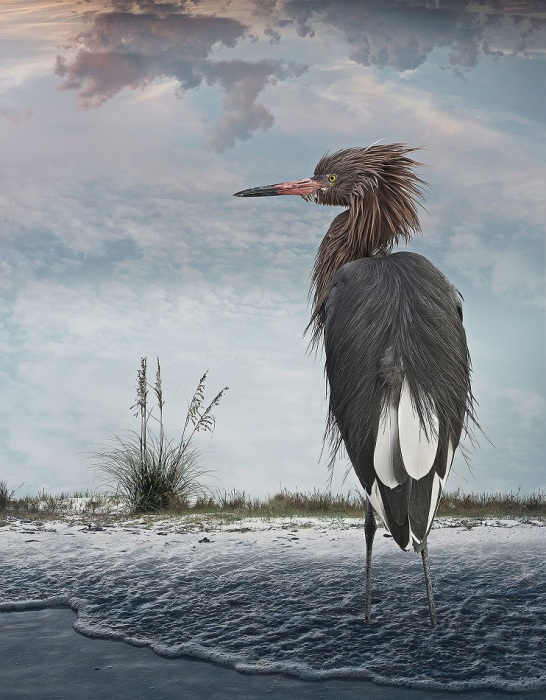 Крупная болотная птица семейства цаплевых, распространённая в тёплых умеренных и тропических широтах как западного, так и восточного полушария.