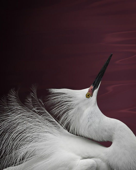 Небольшая снежно-белая птица с грациозной осанкой и с хохлом на затылке.