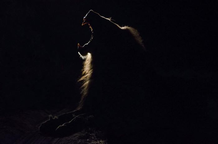 Царь зверей. Фотограф Simon Smith.
