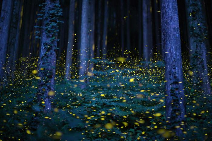Светлячки в Японии в начале сезона дождей. Фотограф Kei Nomiyama.