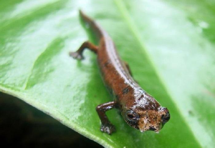 Этот вид саламандры имеет перепончатые лапы, которые помогают им взбираться на деревья в тропических лесах. У них также нет легких. Этот новый вид был найден во влажных тропических лесах на юге Эквадора.