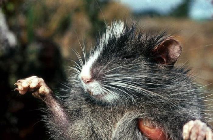 Эта крыса бледно-серого цвета, обладает коренастым телосложением, имеет длинные когти и отличается белой полоской вдоль головы.