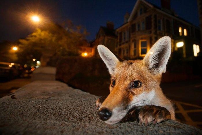 Любопытливый характер городской лисицы на улице Бристоля. Автор фотографии: Сэм Хобсон (Sam Hobson), Великобритания.