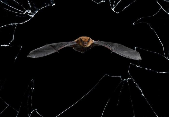 Летучая мышь во время ночной охоты. Автор фотографии: Марио Сеа Санчес (Mario Cea Sanchez), Испания.