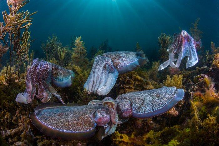 Брачный период на мелководье залива Спенсер, у берегов штата Южная Австралия. Автор фотографии: Скотт Портелли (Scott Portelli), Австралия.