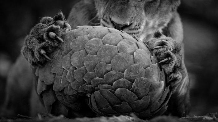 Ящер, ведущий ночной образ жизни и питающиеся муравьями имеют защитное покрытие в виде роговой чешуи. Автор фотографии: Ланс ван де Вивер (Lance van de Vyver), Новая Зеландия, ЮАР.