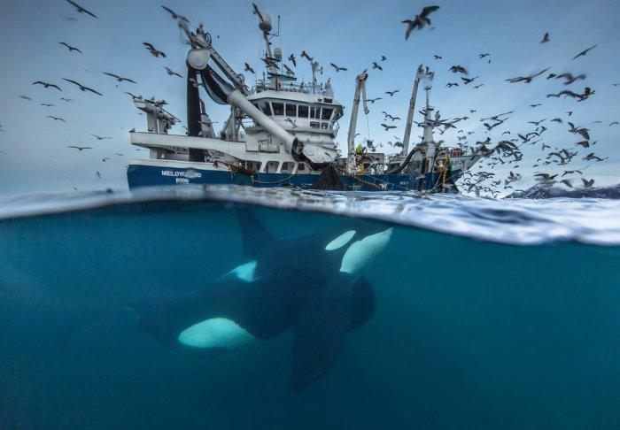 Крупный самец касатки питается сельдью, вывалившейся из затягивающихся рыболовных сетей. Автор фотографии: Одун Рикардсен (Audun Rikardsen), Норвегия.