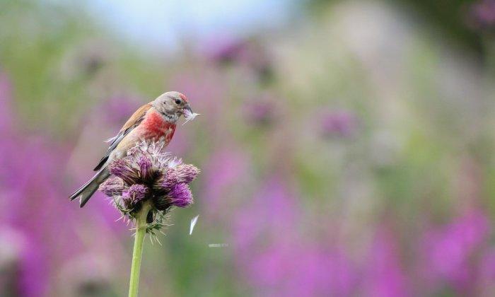 Коноплянка, ловко достающая семена из цветка. Автор фотографии: Айзек Эйлвард (Isaac Aylward), Великобритания.
