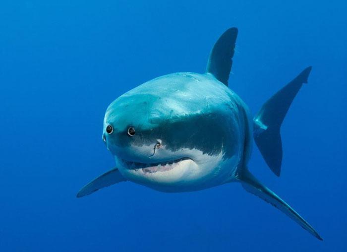 Если бы в мультике «В поисках Немо» была такая акула, жителям океана было бы не страшно.
