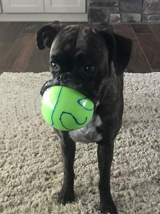 «Боксер моих родителей практически никогда не оставляет свой мячик без присмотра».