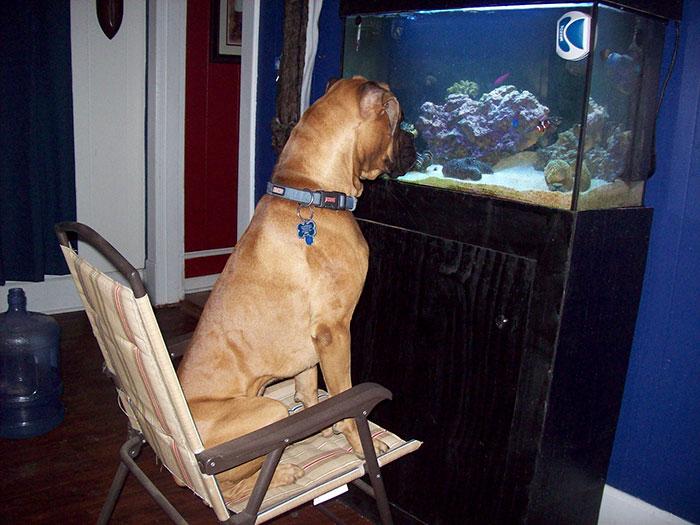 «Любимое занятие моего боксера Леонардо – наблюдение за аквариумными рыбками».