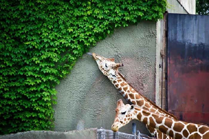 Жираф съел всё, до чего мог дотянуться.