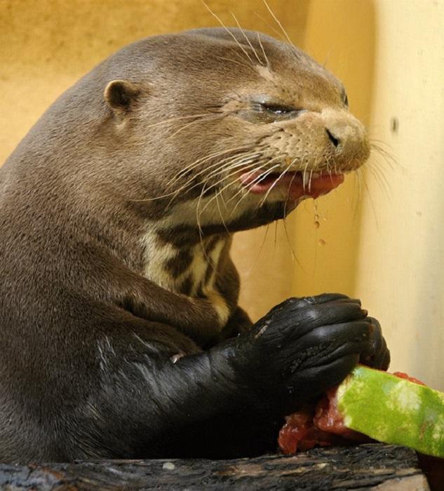 Отвратительный арбуз мне сегодня дали...