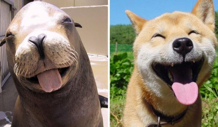 Сходство тюленей и собак.