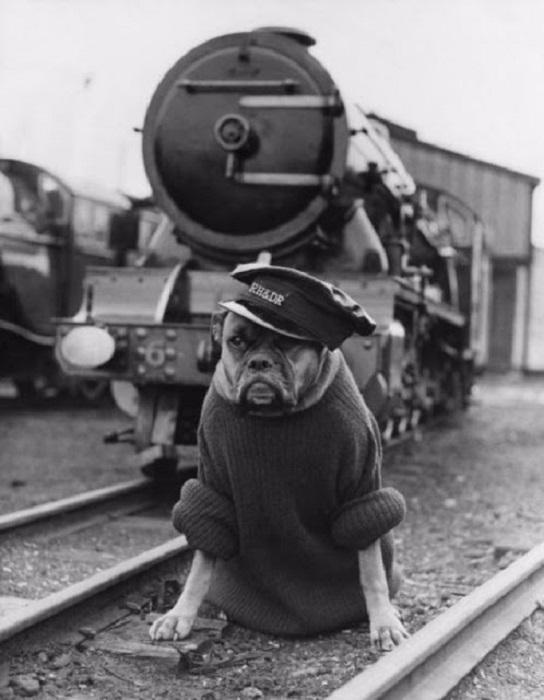 Охранник-боксер в свитере и фуражке где-то на железнодорожной станции исполняющий свой долг.