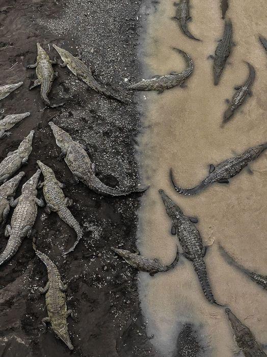 3 место в категории «Природа» отдано фотографу Таруну Синха (Tarun Sinha) за его снимок «Крокодилы в реке Тарколес».