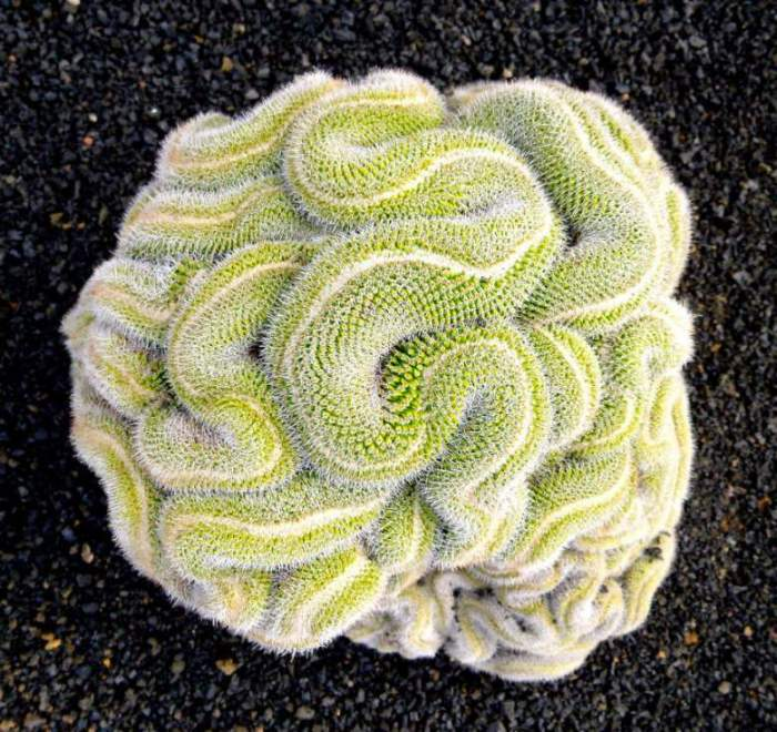 Цветок напоминающий на вид человеческий мозг.