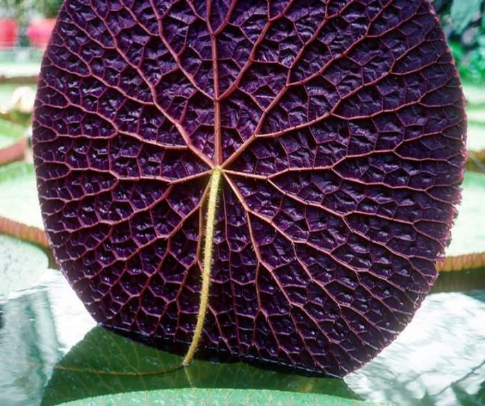 Самое большое цветковое растение в мире, попавшее в книгу рекордов Гиннеса.