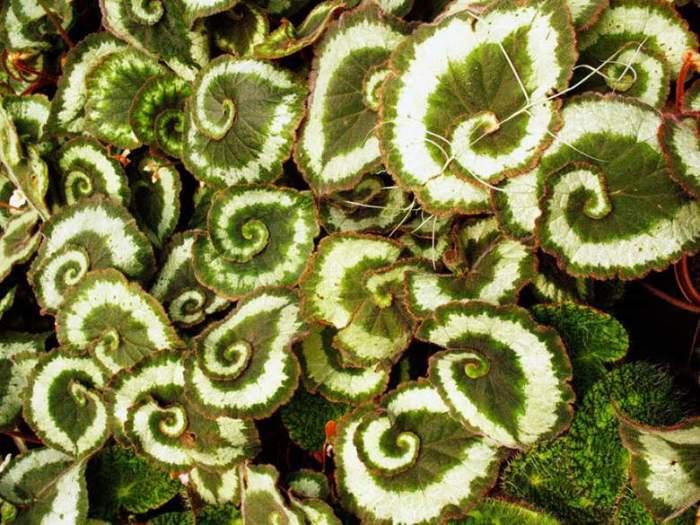 Бегония королевская имеет замысловатые узоры листьев и необычное сочетание цветов.