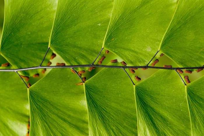Необычная геометрически выдержанная последовательность листьев, напоминающая лестницу.