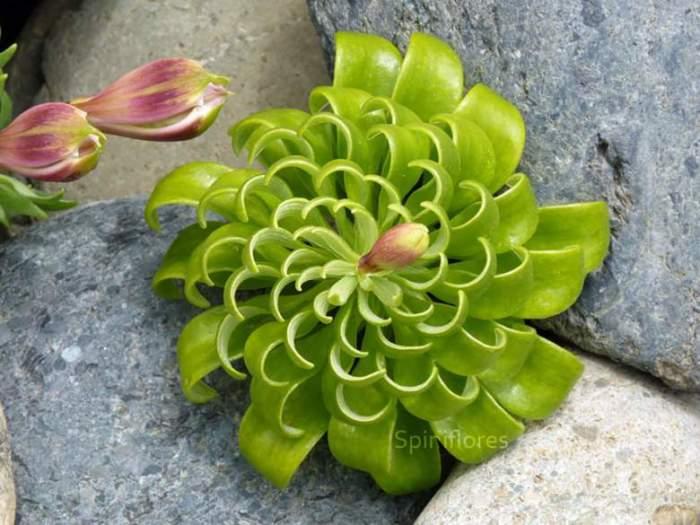 Яркая и привлекательная лилия инков.