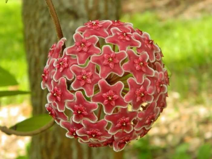 Прекрасный цветок ботанических садов, имеющий на своём зонтике 30 цветков.