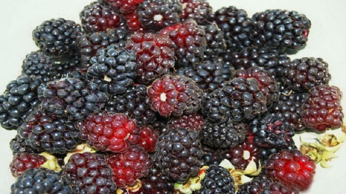 Ягода больше ежевики с крупными семенами, имеет насыщенный бордовый цвет.