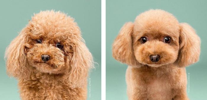 Акцент парикмахера скорее стоит на том, чтобы подчеркнуть уникальные особенности собаки и сделать так, чтобы она радовала своим видом окружающих.