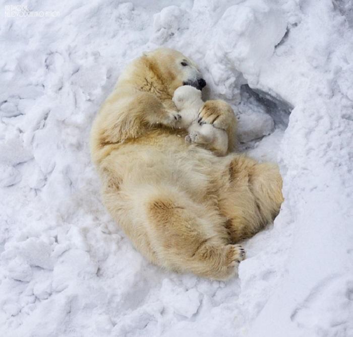Белая медведица обнимает своего Умку. Мощные лапы крепко держат милого ребёночка, чтобы тот не упал на холодный лёд.