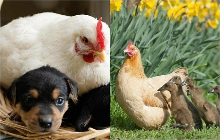 Курица – лучшая мама среди животных.