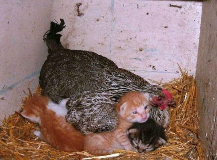 Маленьких котиков любят все, и курица не исключение.