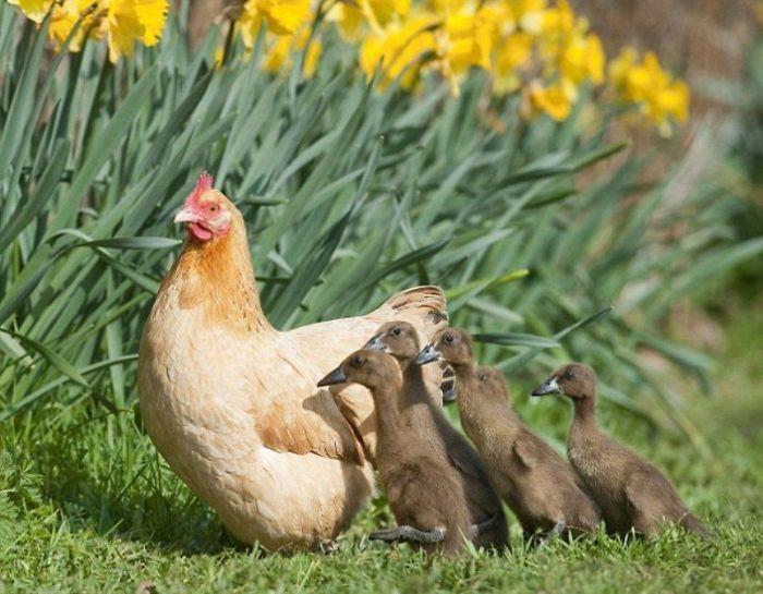 Вот что бывает, если высиживать яйца в чужом гнезде.