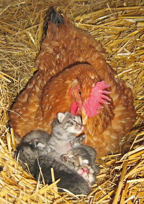 Приемная мама воспитывает серых котят.