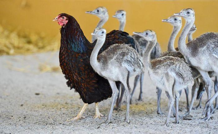 Материнской любви хватит на всех, даже на страусов.