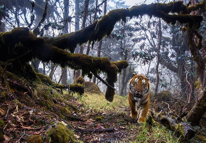 Бенгальский тигр в гималайском лесу в Бутане. Автор фотографии: (Emmanuel Rondeau), Эммануэль Рондо, Франция.
