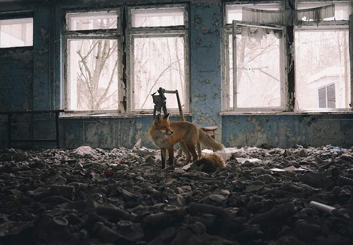 Лиса стоящая посреди пустого школьного класса в Припяти в трех километрах от Чернобыльской АЭС. Автор фотографии: (Adrian Bliss), Адриан Блисс, Британия.