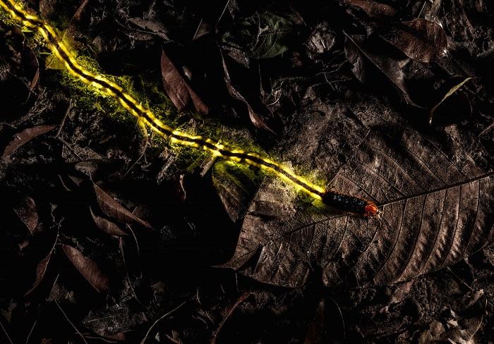 Крупная личинка светлячка, оставляющая за собой  светящийся след, служащий предупреждением хищникам о том, что она несъедобна. Автор фотографии: (Christian Wappl), Кристиан Ваппл, Австрия.