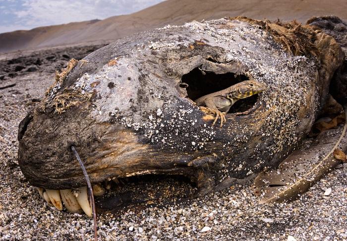 Тихоокеанская игуана на останках погибшего морского льва. Автор фотографии: (Emanuele Biggi), Эмануэле Бигги, Италия.