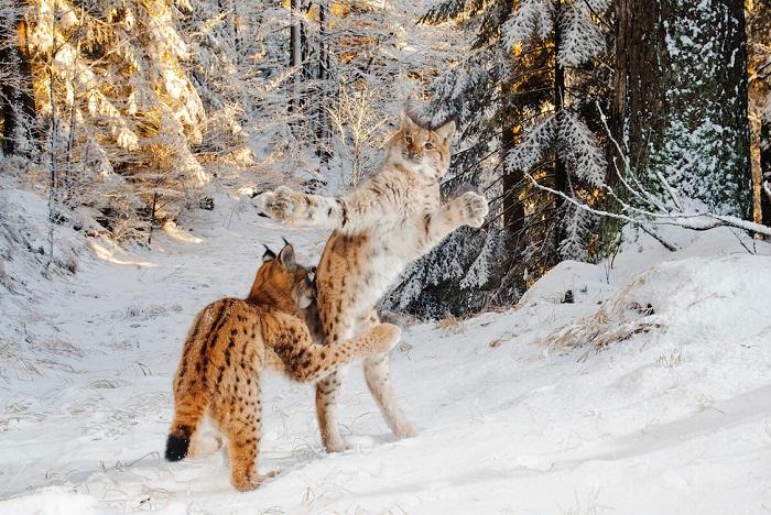Рысь против рыси. Автор фотографии: (Julius Kramer), Юлиюс Крамер, Германия.