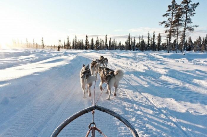 Все собачьи упряжки представляют собой определенные типы построения собак и имеют вожака и совершенно безопасны для прогулок.