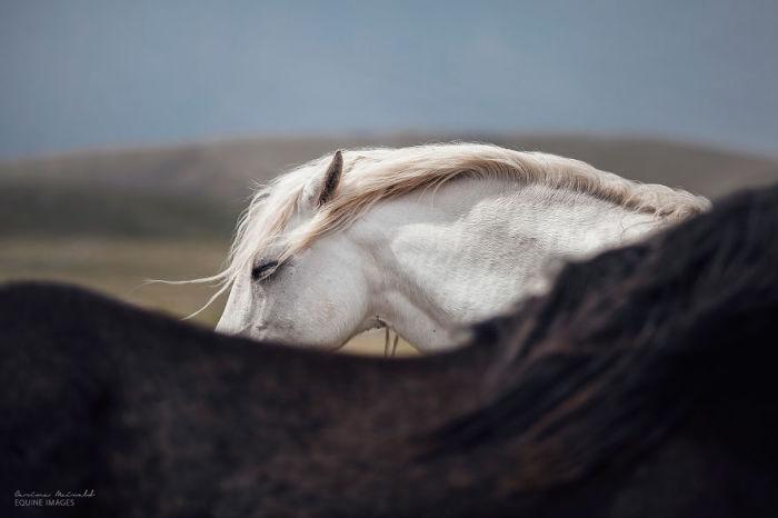 Дикие лошади в Боснии.