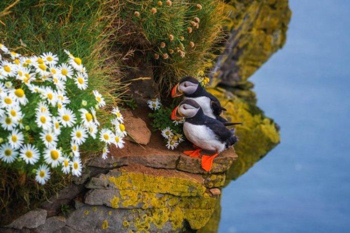 Северная птица (атлантический тупик) в черно-белом одеянии с красно-желтым клювом и ярко-оранжевыми плоскими лапами.
