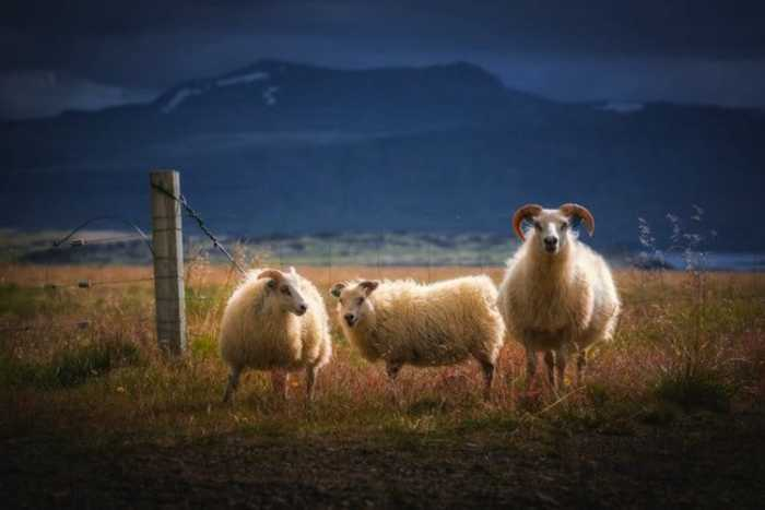 Овцы гуляют сами по себе, поедая зеленую сочную траву.