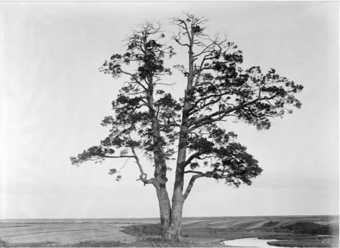 Ритуалы и языческие традиции проводились возле дерева на берегу реки. Кобралово.
